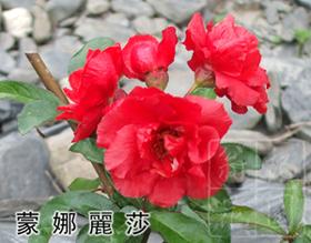 寒梅盆栽園