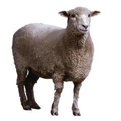挪威海藻粉羊用(羊用海藻粉)