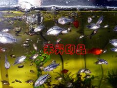 花羅漢、招財魚、財神魚、風水魚(1-2公分、售39元)