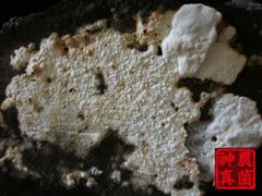 台灣國寶- 牛樟芝- 神農真菌