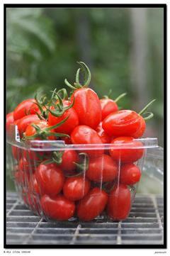 溫室玉女小番茄